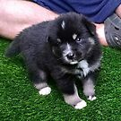 Know pomsky puppies price by serenablanks01