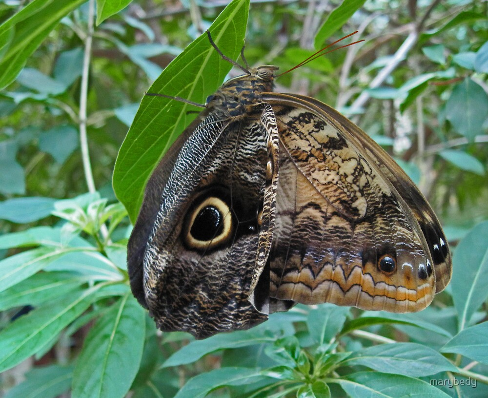 Owl Butterfly by marybedy