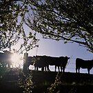 Angus heifers in the South Gippsland hills, 2012 by Fiona Lokot