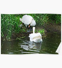 Easy now! mute swans and chick, Barrow Navigation, County Carlow, Ireland Poster