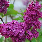 Lilacs by Marjorie Wallace