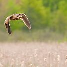 American Bittern In Flight by Michael Cummings