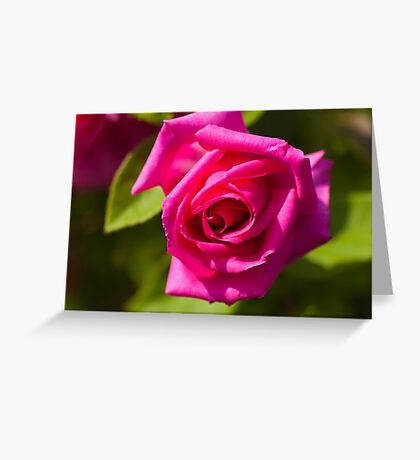 Pink Scented Rose Greeting Card