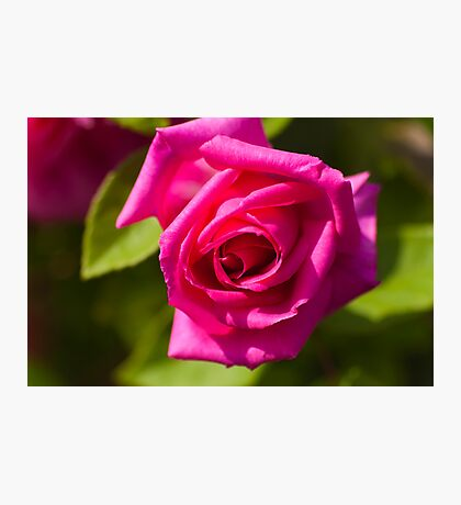 Pink Scented Rose Photographic Print