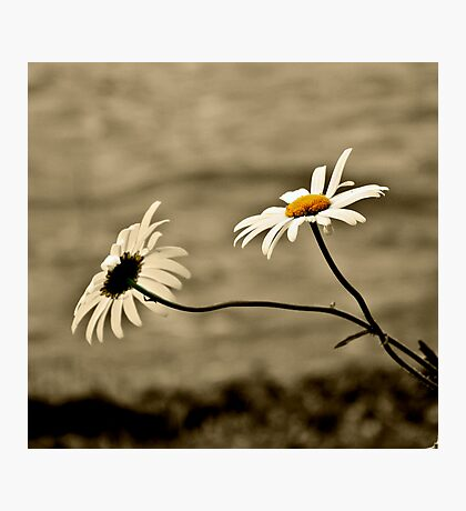 Waterside Daisies Photographic Print
