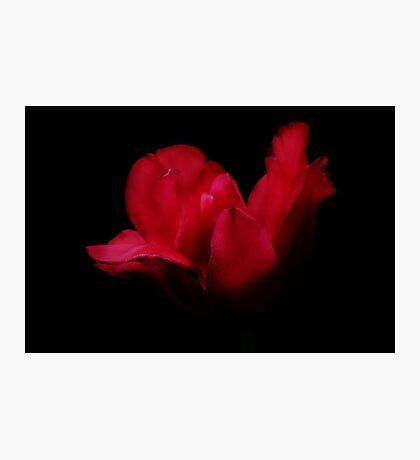 Patricia's Tulip Photographic Print