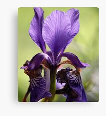 Beautiful Iris Canvas Print