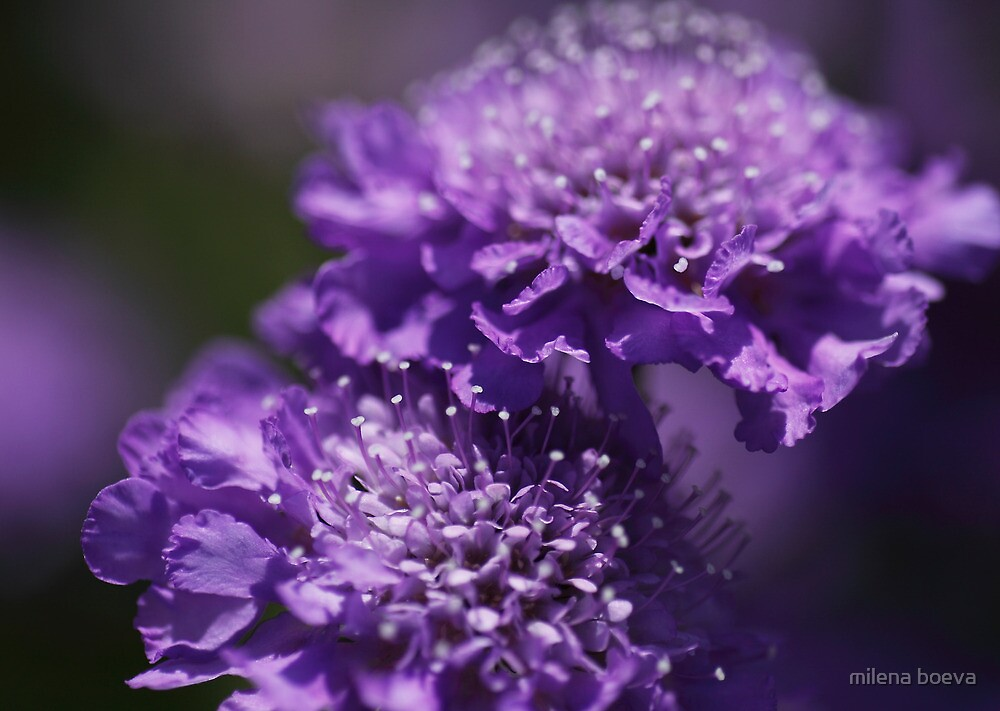 purple spring flowers by milena boeva