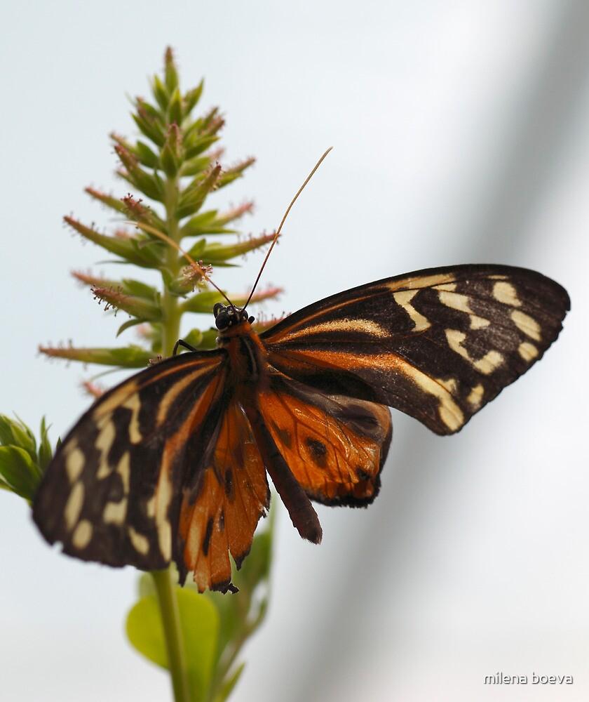 brown butterfly by milena boeva
