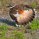 Killdeer Displaying by Michael Cummings