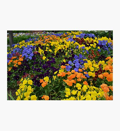 Fields of Brightly Colored Pansies Photographic Print