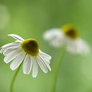 Chamomile duo by Lifeware