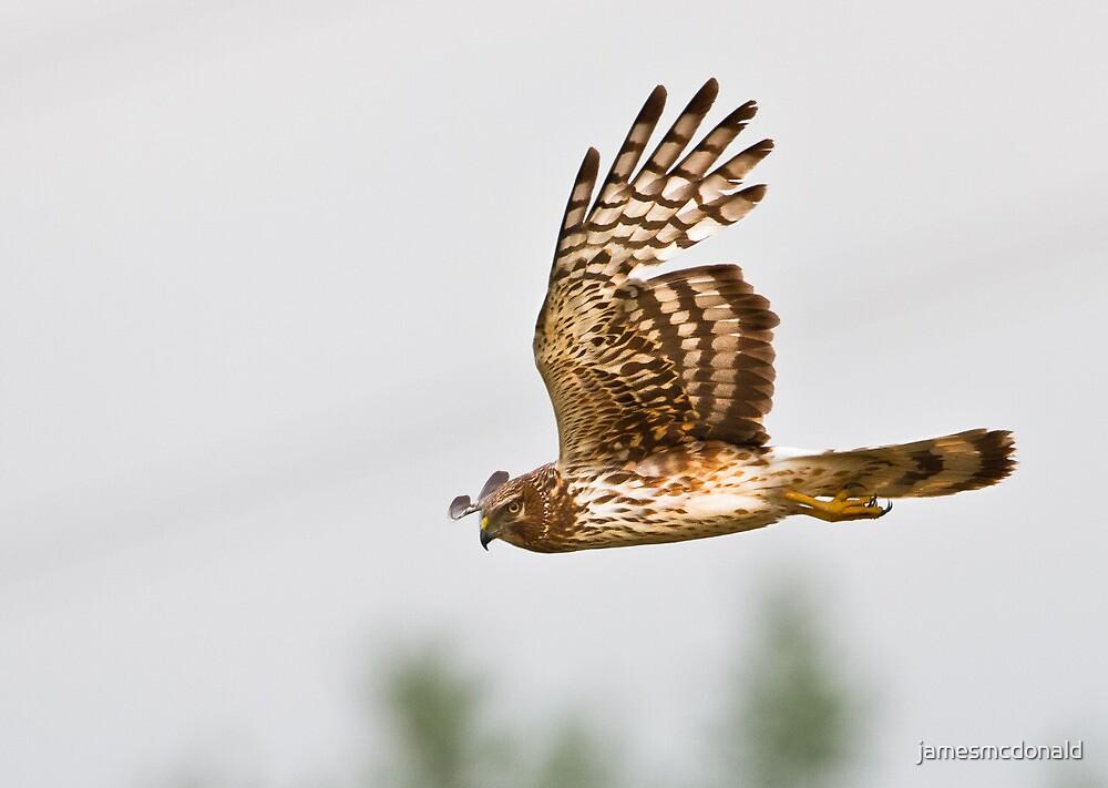 harrier hunt: female by jamesmcdonald