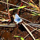 Western Pygmy Blue Butterfly by Dave Sandersfeld