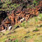 Mountain Sheep family by Dave Sandersfeld