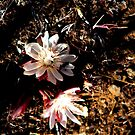 Rare Bitterroot desert plant blooming by Dave Sandersfeld