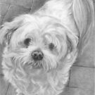 Maltese Terrier Commission by Karen Townsend