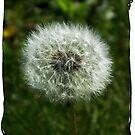 Dandelion Glory by teresa731
