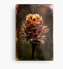 Desiccated Knapweed Metal Print