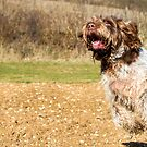 Spinone have been seen flying back to the mountain by heidiannemorris