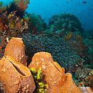 The sponge gardens of Bangka (Lembeh Indonesia) by Stephen Colquitt