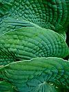 Green Blue Hosta - Hosta sieboldiana by MotherNature