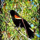 A Beautiful Redwinged Black Bird... ©  by Dawn Becker