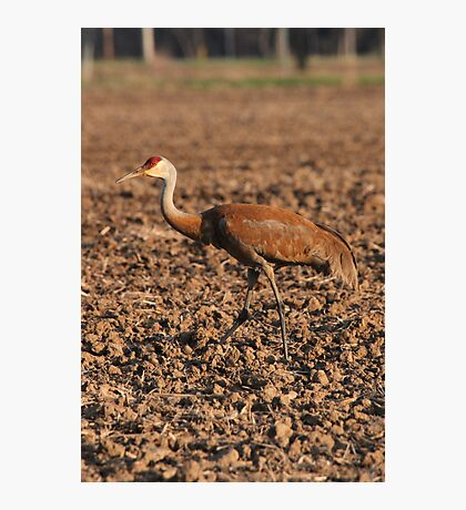 Sandhill Crane in Field Photographic Print