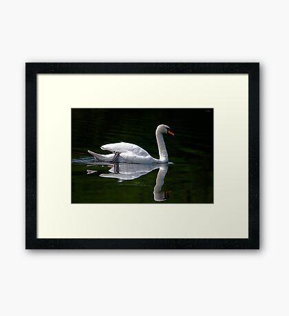 Dad Swan.....Reflections Framed Print