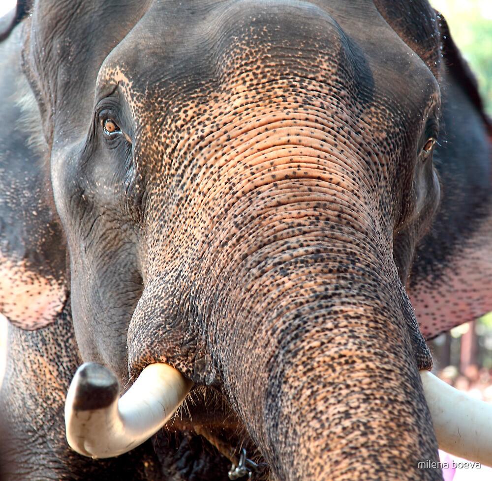 elephant by milena boeva
