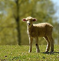 Precious Lamb by Sheryl Gerhard