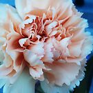 Delicate Carnation  by Allison  Flores