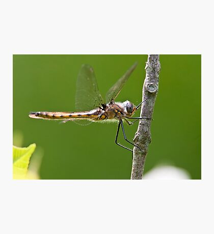 Beaver Pond Basket-tail Dragonfly Photographic Print