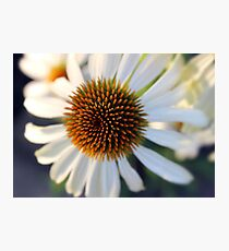 White echinacea flower Photographic Print
