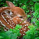 A Fawn Is Born by MNDustyLens