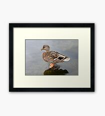 Spring Duck Framed Print