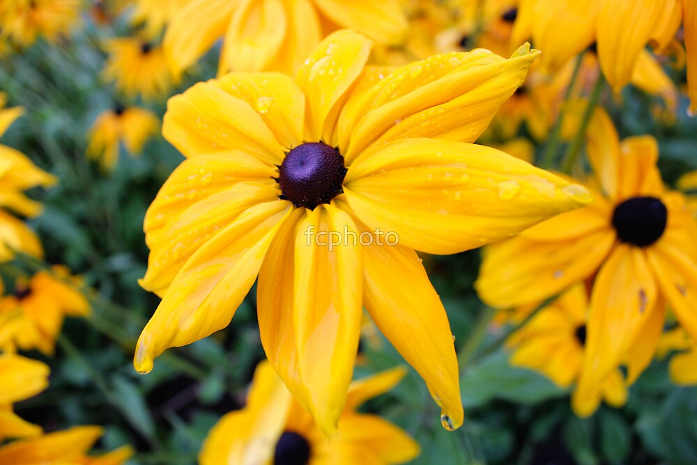 Spring yellow sun flower by fcphoto