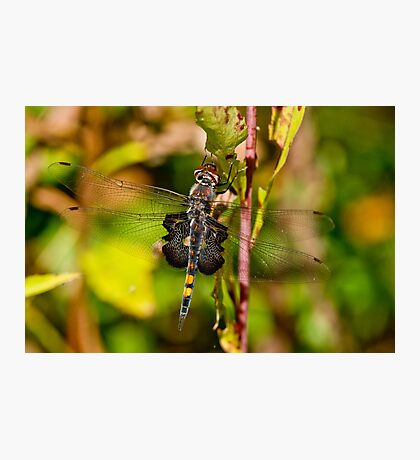 Black Saddlebag Dragonfly Photographic Print