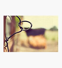 Cows are amongst the gentlest of breathing creatures Photographic Print