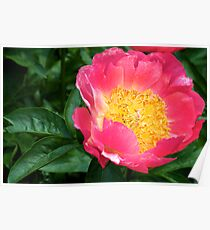 Pink and Yellow Peony - NYBG Spanish Paradise Show Poster