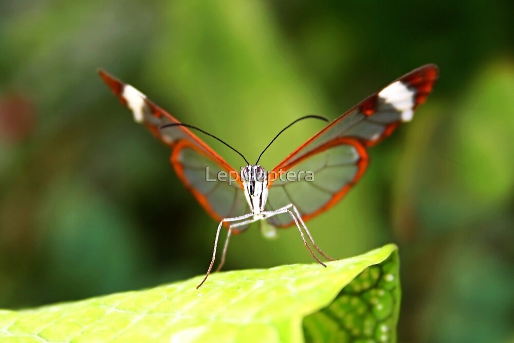Face to Face Glasswing - Greta oto by Lepidoptera