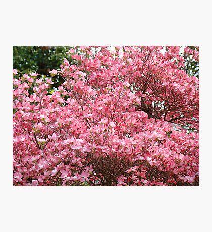 Trees Pink Dogwood Flowers art prints Baslee Troutman Photographic Print