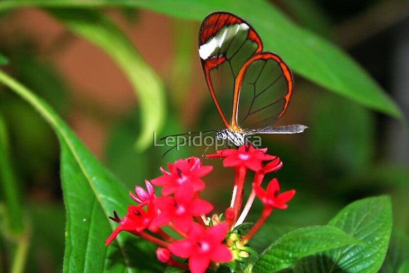 Quot Flower Glasswing Greta Oto Quot By Lepidoptera Redbubble