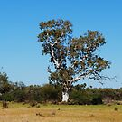 Old man tree by outbackwriter