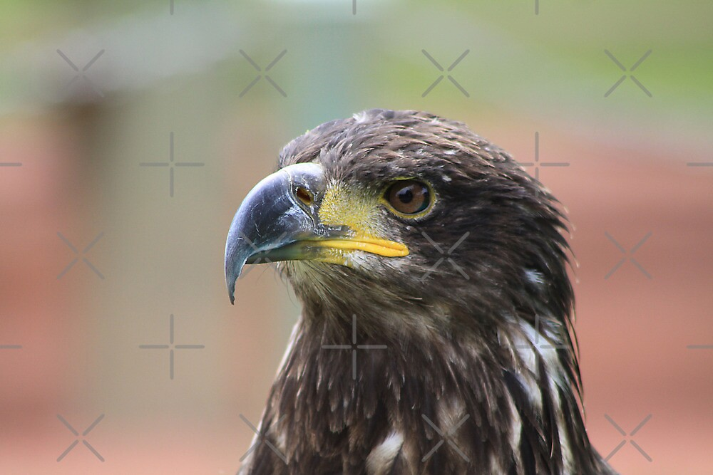 Juvenile Bald Eagle by Alyce Taylor