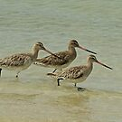 Bar-Tailed Godwits by Robert Abraham