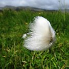 Cotton Grass in the Wind by k8em