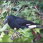 Pied Currawong. by shortshooter-Al