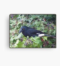 Pied Currawong. Canvas Print