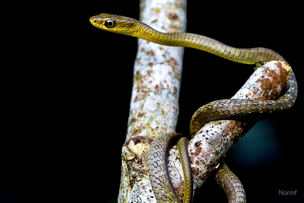 Juvenile Green Tree Snake  ( Dendrelaphis punctulata ) by Normf